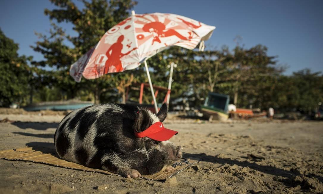 A porquinha Abigail aproveita o sol do fim de tarde na Praia das Pedrinhas Foto: Guito Moreto / Agência O Globo