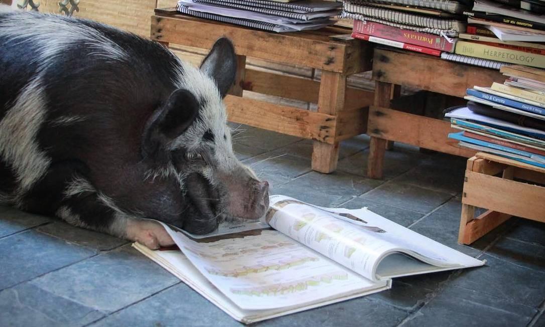 """Em dias de chuva, a porquinha conta em sua rede que curte pegar um livro para ler... """"e dormir um pouquinho também, porque nenhum suíno é de ferro, né?"""" Foto: Reprodução / Instagram"""