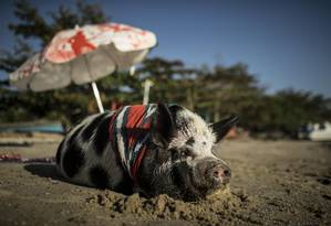 A porca Abigail, de 2 anos, vai à praia em São Gonçalo Foto: Guito Moreto / Agência O Globo