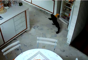 Macaco invadiu apartamento de idosa no Humaitá Foto: Arquivo pessoal / Mauricio Bevilaqua