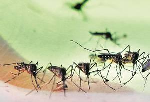 Aedes aegypti: pesquisadora ressalta que ainda não se sabe se o mosquito, ao carregar tantos vírus, transmite um com mais eficiência do que outro Foto: Antonio Scorza/19-4-2017