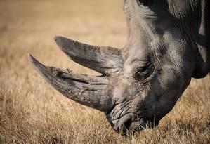 Pó de chifre de rinoceronte é usado na medicina tradicional chinesa para curar doenças. Foto: Pixabay