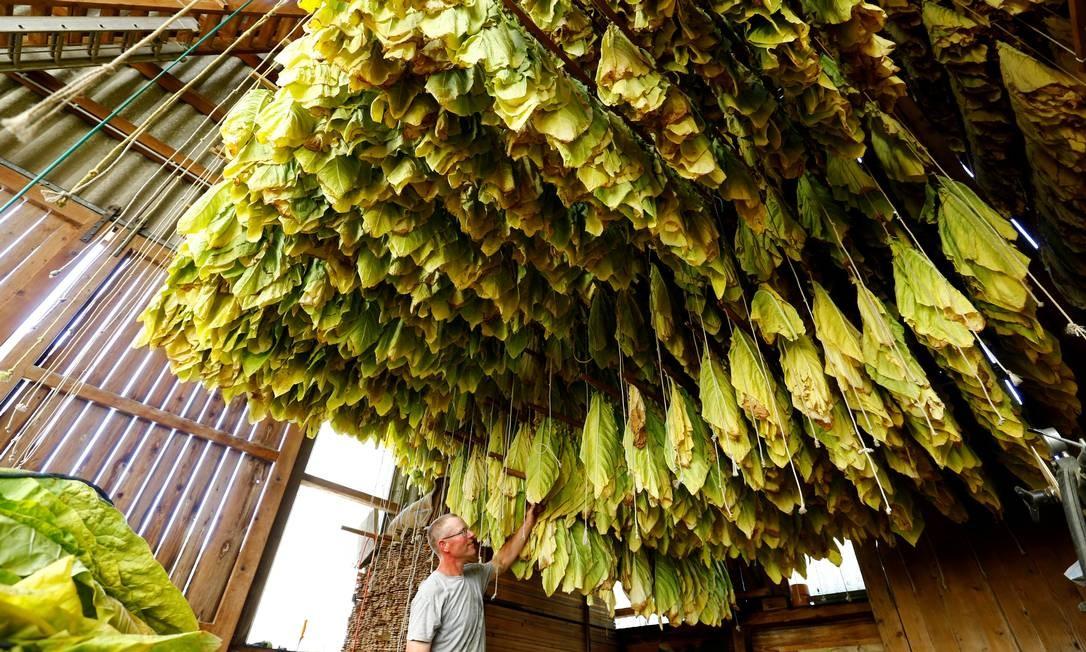Homem verifica a secagem de folhas de tabaco em um celeiro de sua fazenda em Willisdorf, Suíça Foto: ARND WIEGMANN / REUTERS