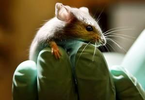 Japão autorizou pesquisa para que animais desenvolvam órgãos humanos que poderiam ser usados em transplantes Foto: ROBERT F. BUKATY / AP