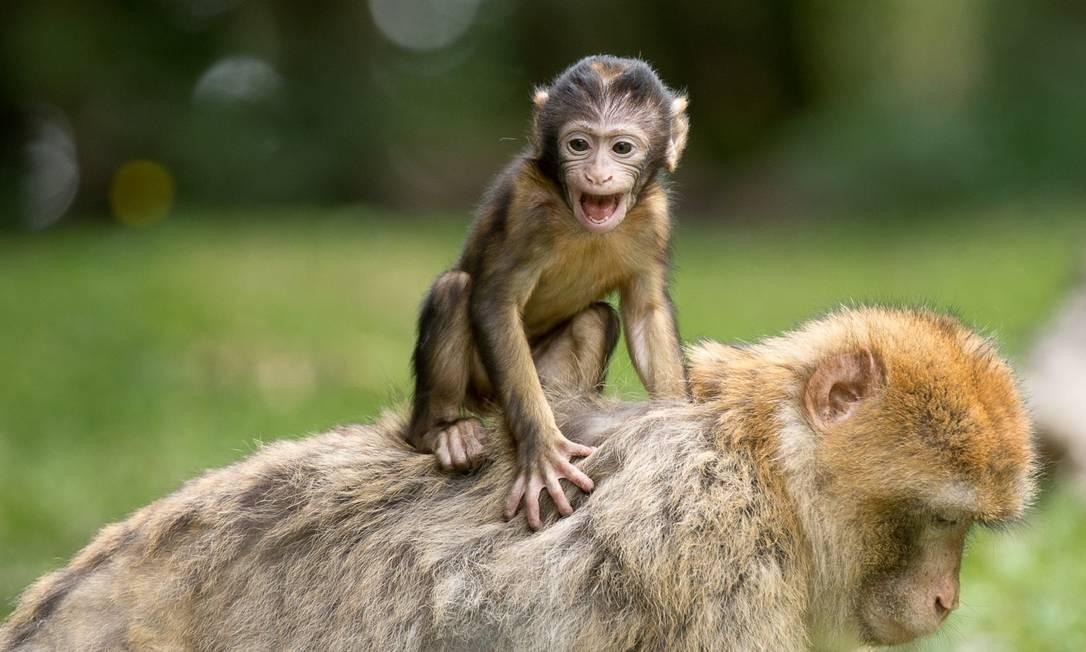 Foram injetadas células-tronco humanas em um embrião de macaco. O experimento foi interrompido antes que o embrião tivesse idade suficiente para nascer. Foto: Pixabay