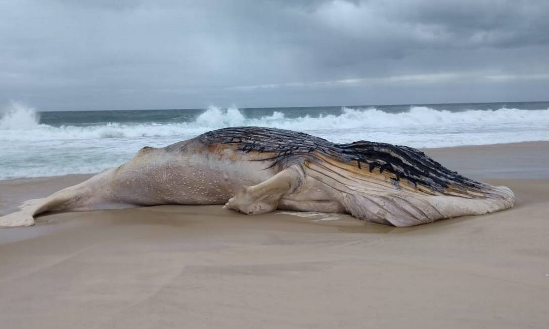 Baleia jubarte foi encontrada morta nas areias da Praia de Jaconé, em Saquarema Foto: Saquarema da Depressão / Reprodução