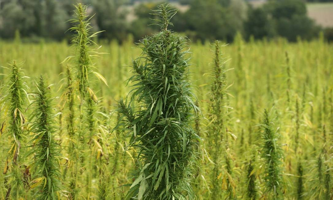 Plantação de Cannabis na França Foto: Sean Gallup / Getty Images