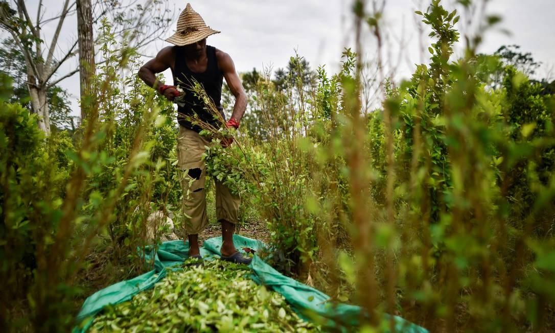 Imigrante venezuelano trabalha em uma plantação de coca na região de Catatumbo: mais de 25 mil fugiram para a região Foto: LUIS ROBAYO / AFP