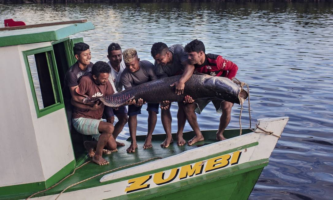 Um pirarucu de quase 100 quilos é erguido por indígenas do povo Paumari, logo após ser pescado Foto: Marizilda Cruppe