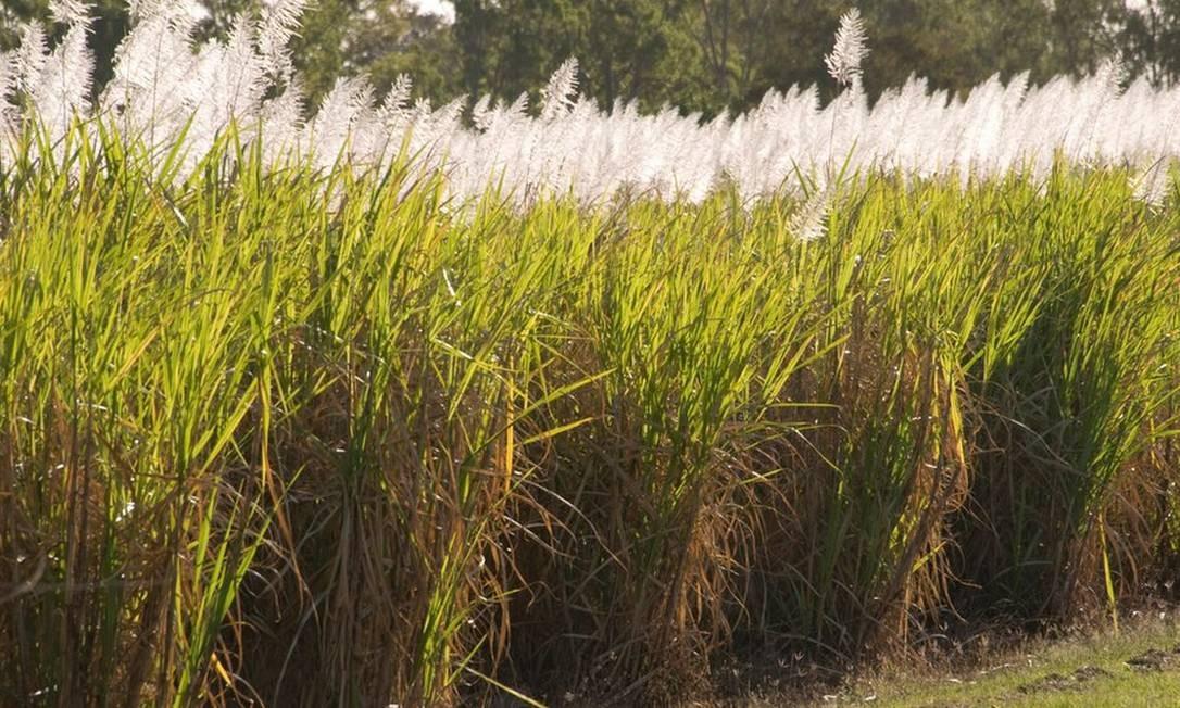 Etanol brasileiro é feito majoritariamente a partir da cana de açúcar. Brasil também importa produto dos EUA Foto: BBC