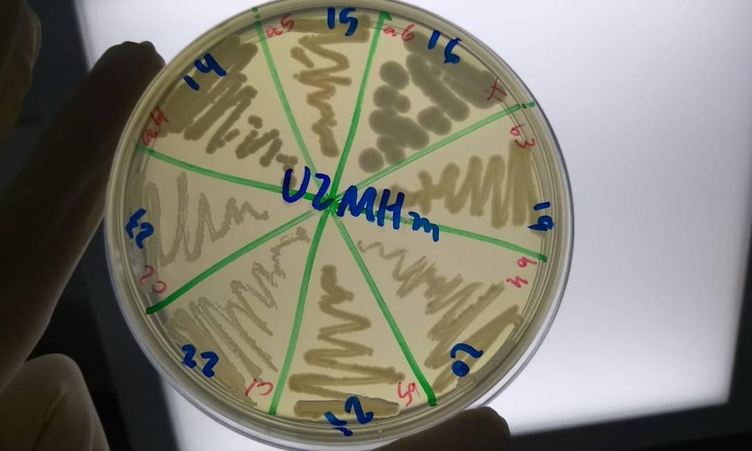 Cultura de Klebsiella pneumoniae em placa de Petri com oito cepas Foto: Divulgação