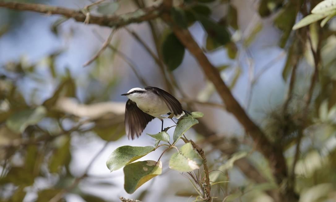 Observação de pássaros no Horto Florestal Joaquim dos Santos Limam em Santa Maria Madalena, parte da região turística dos Caminhos da Serra Foto: Roberto Moreyra / Agência O Globo