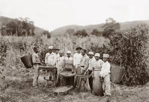 Escravos na colheita de café, no Vale do Paraíba, RJ, em 1882 Foto: Marc Ferrez / Acervo IMS