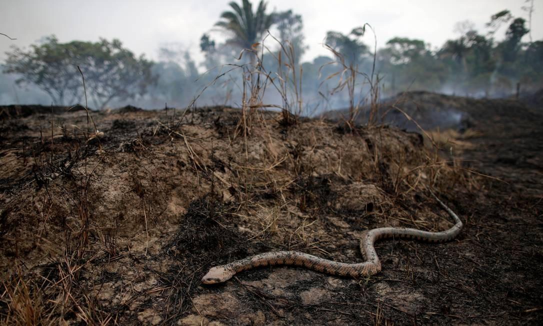 Uma cobra rasteja por uma área de floresta amazônica destruída por uma queimada em Porto Velho, Rondônia. Governo federal autorizou, na última sexta-feira (23), o envio das Forças Armadas para estados da Região Norte para atuar no combate às queimadas / 24/08/2019 Foto: UESLEI MARCELINO / REUTERS / 24/08/2019