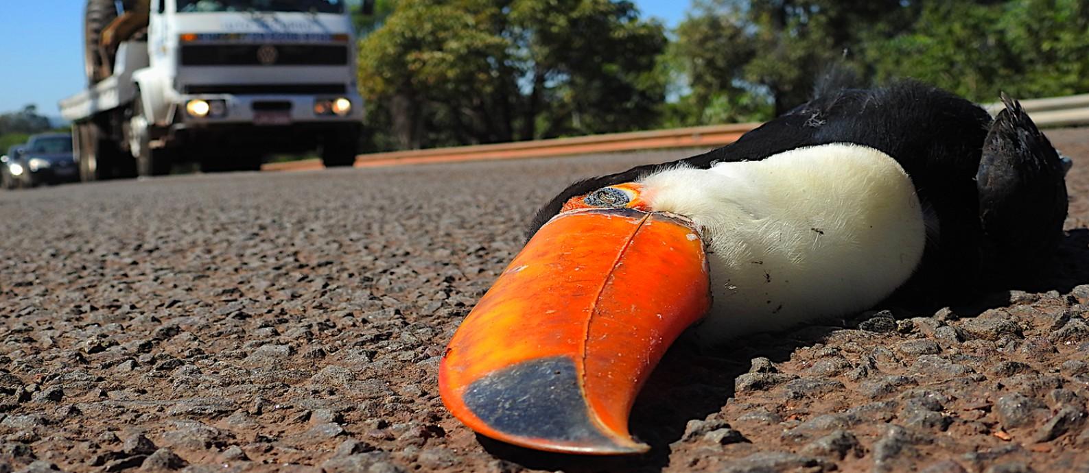 Tucano atropelado na BR-262, no Mato Grosso do Sul, uma das mais mortais Foto: Alex Bager