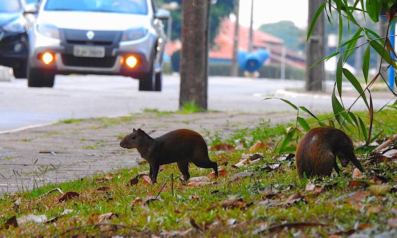 Capivaras às marges de rodovia Foto: Alex Bager / Agência O Globo