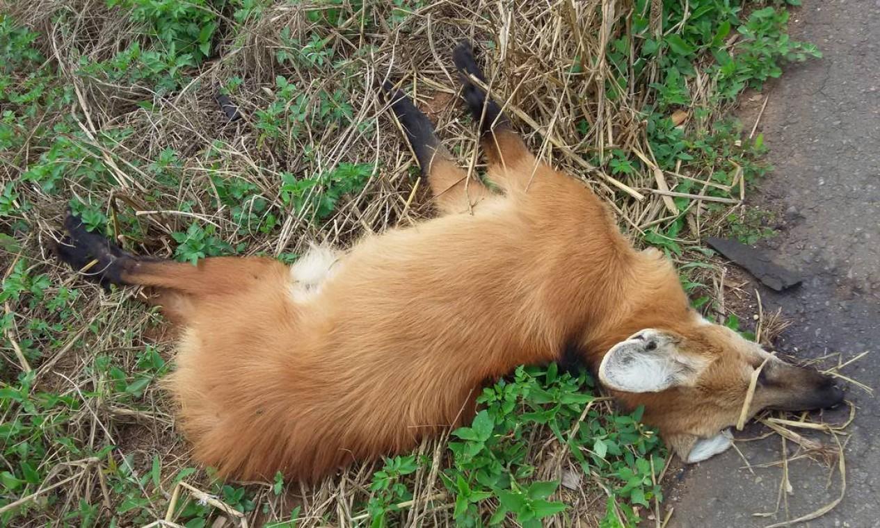 Lobo-guará foi uma das vítimas Foto: Alex Bager / Agência O Globo
