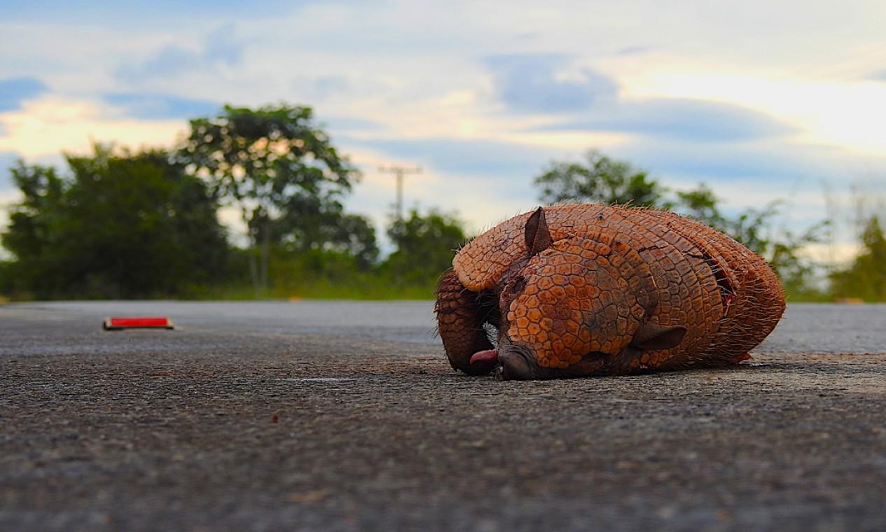 Tatu morto próximo ao Parque Nacional do Iguaçu Foto: Alex Bager / Alex Bager