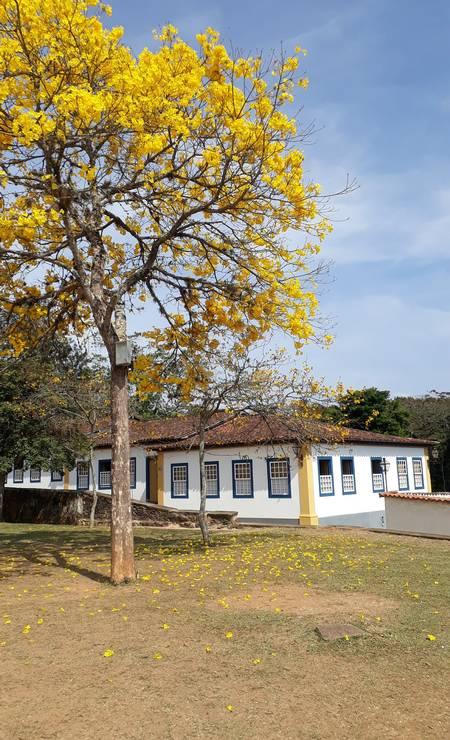 Ipês em Tiradentes Foto: Carolina Mazzi