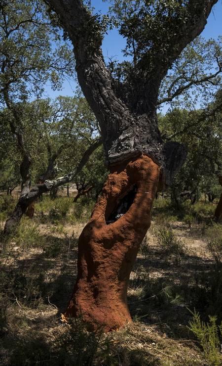 Um sobreiro em Melides: árvore da qual se extrai a cortiça é presença constante na paisagem do Alentejo Foto: Daniel Rodrigues / The New York Times