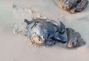 Tartaruga marinha atingida por vazamento de petróleo na praia de Itatinga, em Alcântara (MA) Foto: Reprodução