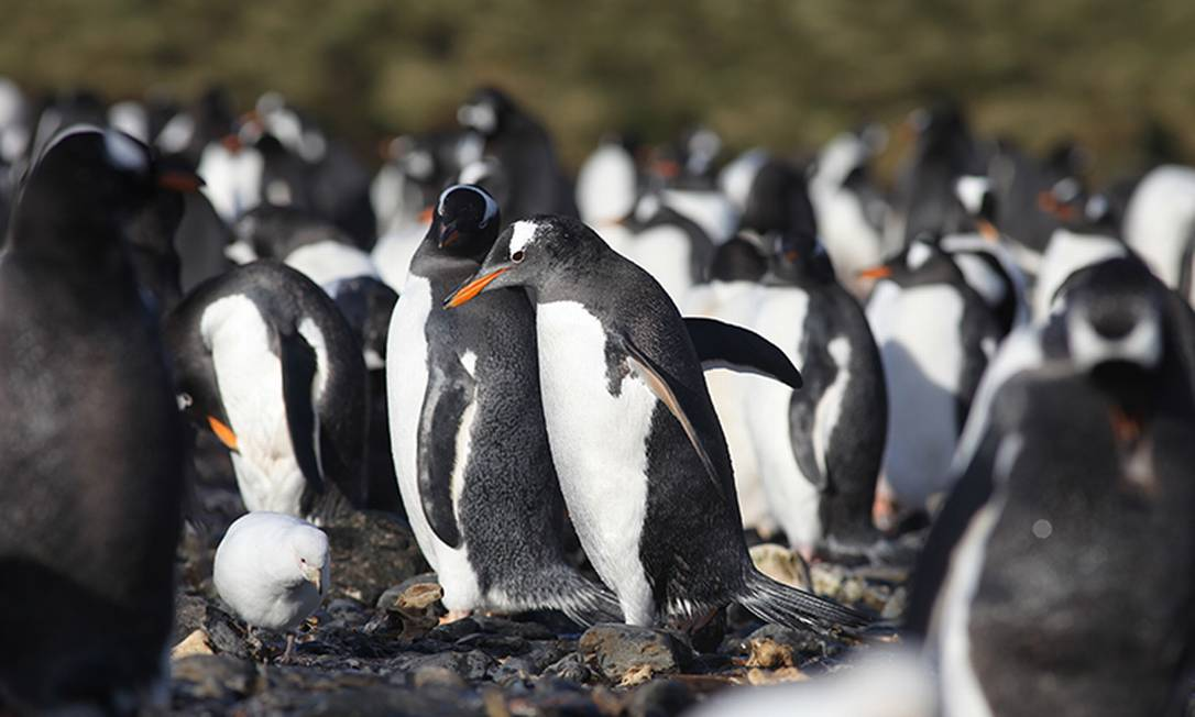 Cientistas analisaram as fezes de 80 Pinguins gentoo Pygocelis papua Foto: Jose Xavier / Divulgação/Universidade de Coimbra