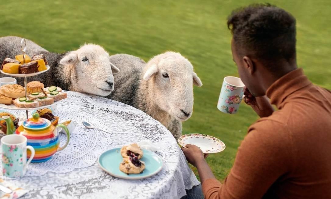 O chá com ovelhas na Escócia é uma das Experiências com Animais, nova modalidade de Experiências lançada pelo Airbnb Foto: Airbnb / Reprodução