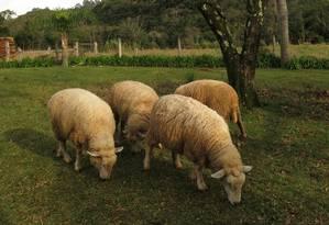 Ovelhas na propriedade da Família Marcon, na zona rural de Gramado, aberta à visitação Foto: Thayna Rodrigues / O Globo