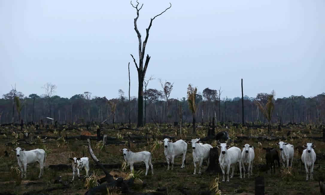 Gado é visto em área desmatada da Amazônia, no estado do Amazonas Foto: BRUNO KELLY / Reuters