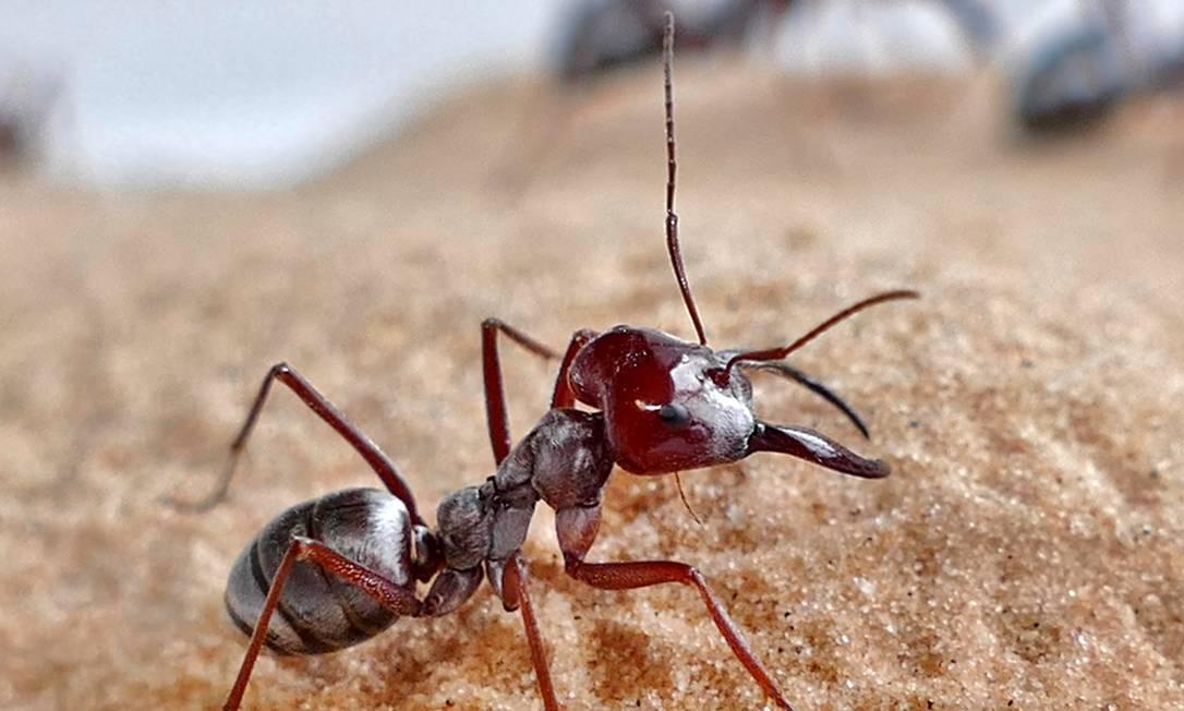 Formigas prateadas do Saara registrada na Tunísia Foto: Harald Wolf / The Company of Biologists