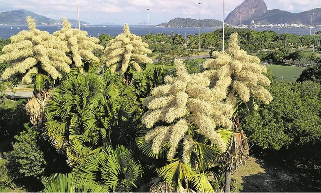 Cinco palmeiras Talipot, originárias da Índia e do Sri Lanka, carregadas de minúsculas flores na paisagem do Parque do Flamengo Foto: Renee Rocha / Agência O Globo
