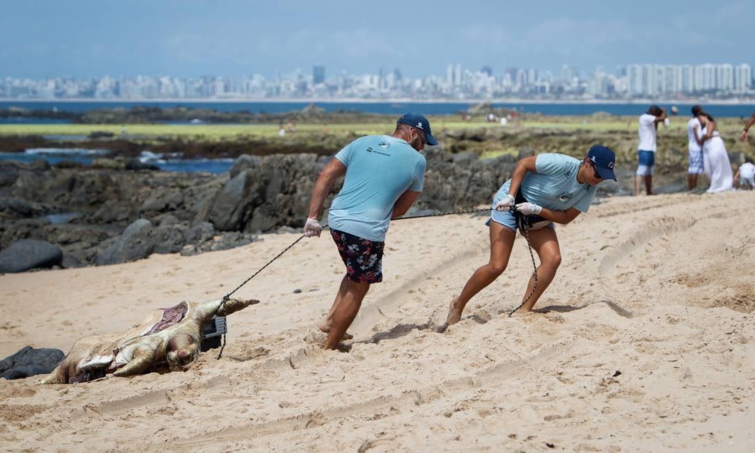 Biólogos do Projeto Tamar recolhem tartaruga-cabeçuda encontrada morta na praia de Itapuã, em Salvador (BA). Foto: Fernando Vivas / Folhapress