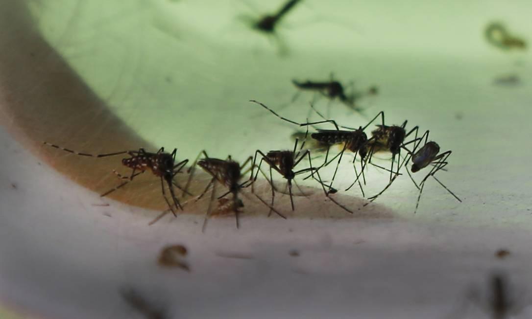 Mosquitos Aedes aegypti, que podem transmitir dengue, zika e chikungunya Foto: Antonio Scorza / Agência O Globo