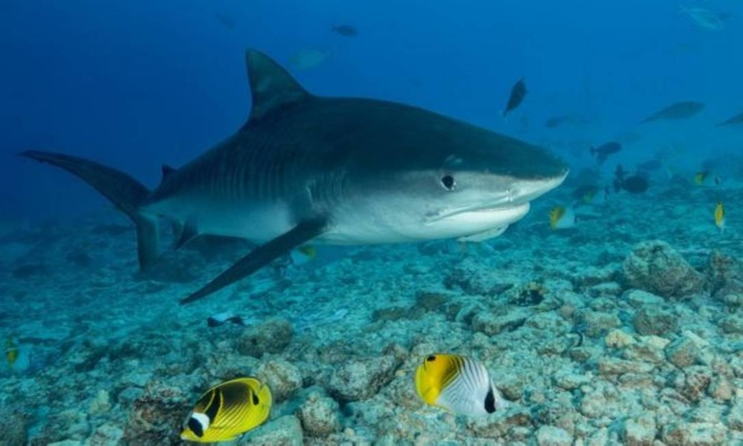 Examinadores encontraram a mão e a aliança de casamento do homem dentro de um tubarão-tigre Foto: GETTY IMAGES