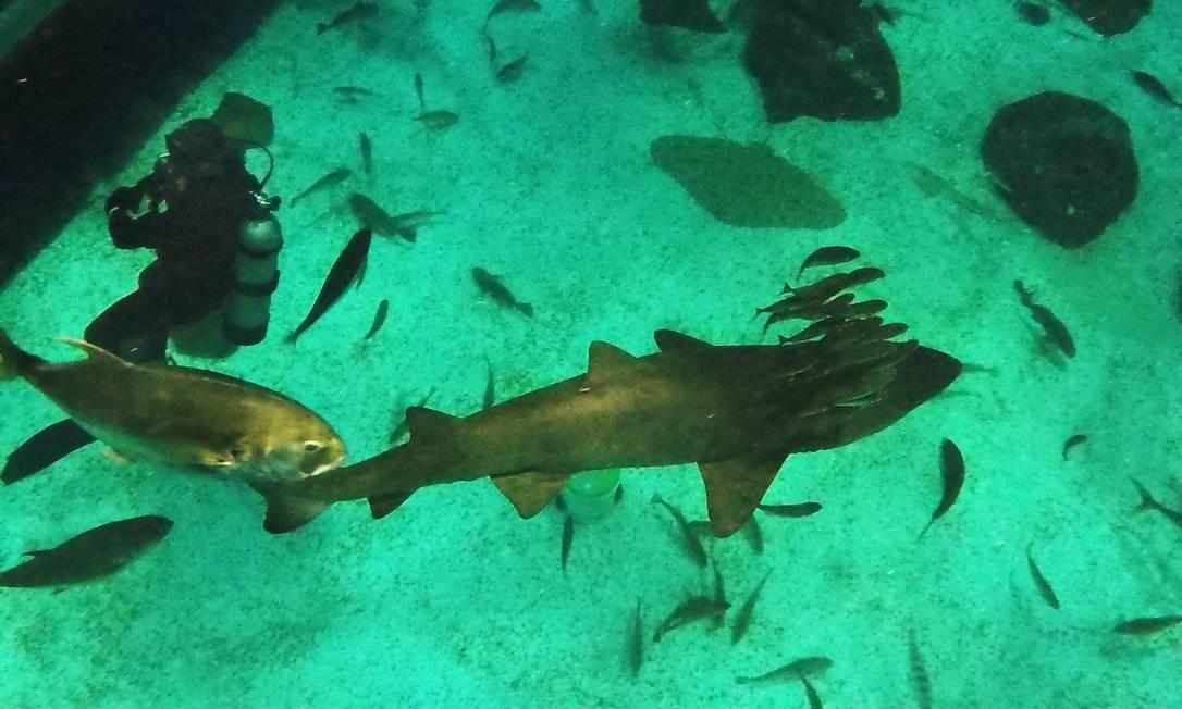 Tubarão mangona é acompanhado por diversos peixes menores Foto: Antonio Scorza / Agência O Globo
