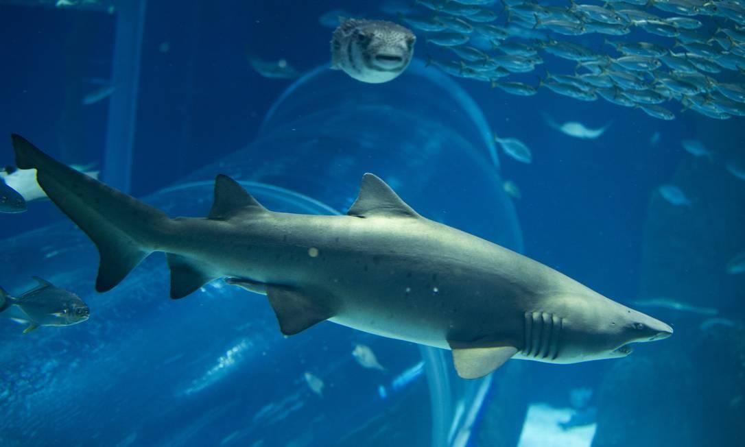 Tubarões da espécie Mangona chamam a atenção e são as estrelas do Grande Tanque Oceânico, que conta com mais de 2 mil peixes no AquaRio Foto: Márcia Foletto / Agência O Globo