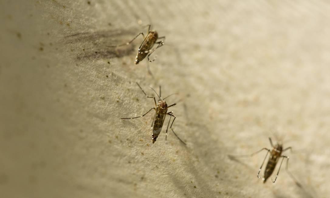 O mosquito aedes aegypt é o vetor da dengue; cientistas investigam transmissão por via sexual Foto: Brenno Carvalho / Agência O Globo