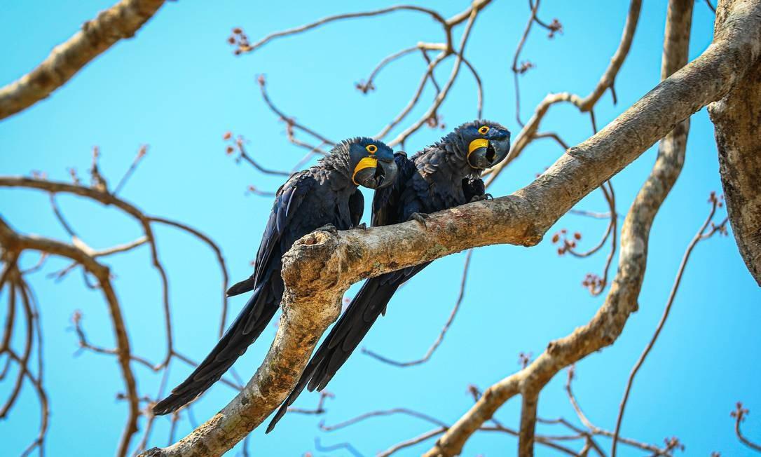 Casal de araras azuis que sobreviveu às queimadas no Pantanal Foto: Rafael Munhos / Rafael Munhos