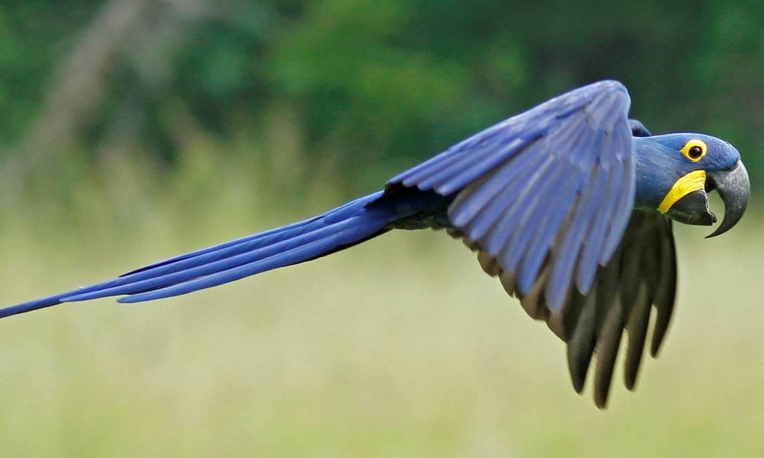 Arara azul np Pantanal Foto: Fabio Nunes