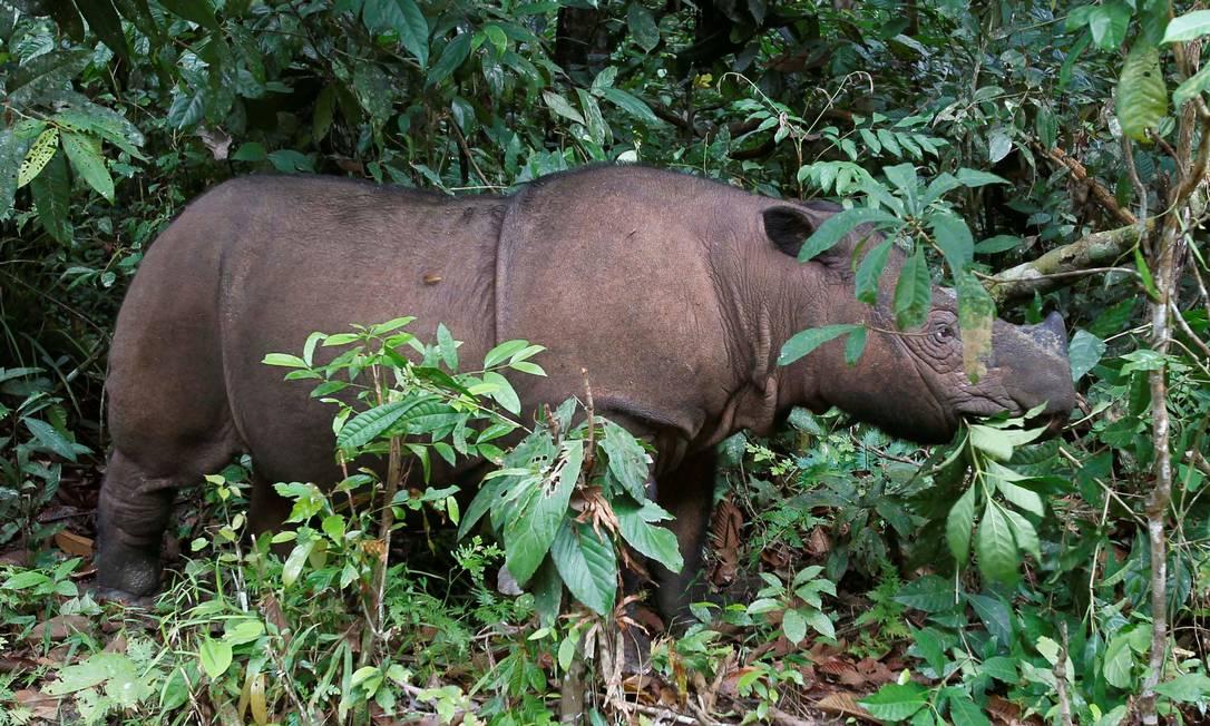 Ratu, um rinoceronte-de-sumatra de 8 anos, da mesma espécie que Iman. Foto: Supri Supri / REUTERS