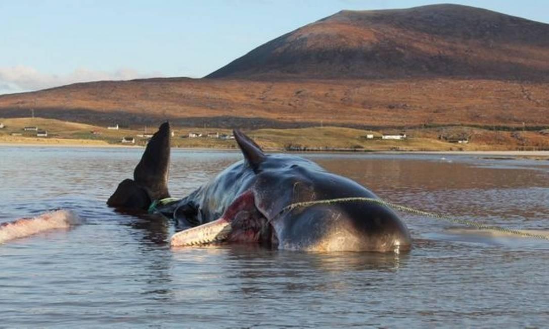 Redes de pesca e copos de plástico estavam entre os resíduos achados no estômago da baleia Foto: Dan Parry