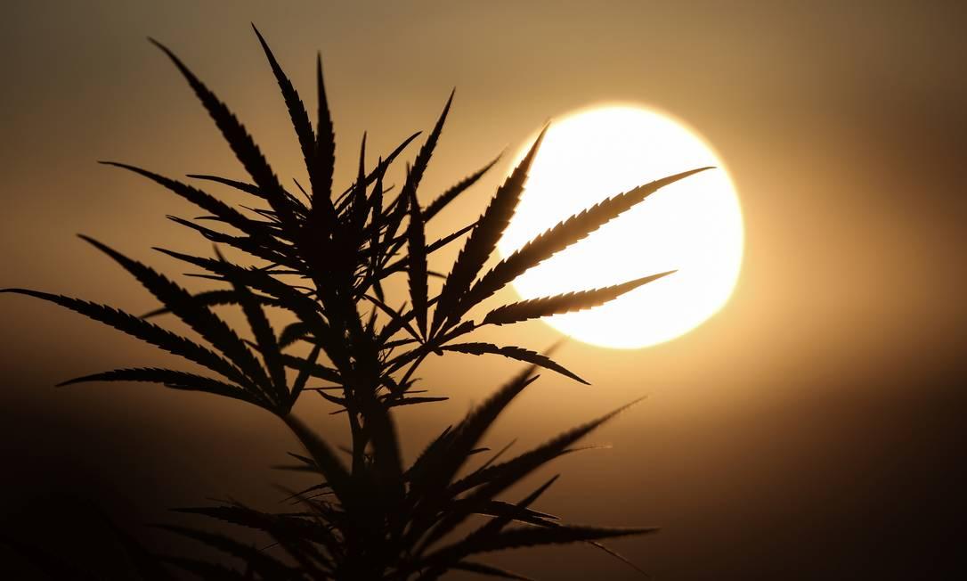 Anvisa aprova regulamentação de produtos à base de cannabis, mas arquiva projeto que possibilitaria plantio. Foto: STELIOS MISINAS / REUTERS