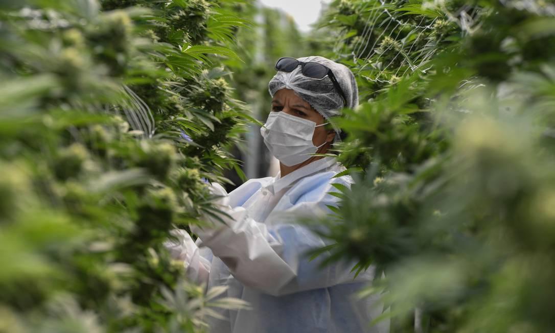 Funcionária observa plantação de maconha para fins medicinais no Uruguai Foto: PABLO PORCIUNCULA BRUNE / AFP