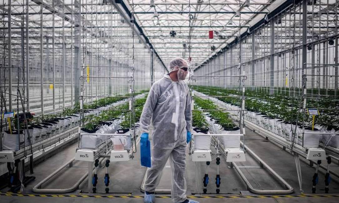 Anvisa simplificou regras para importação de medicamentos à base de cannabis Foto: AFP