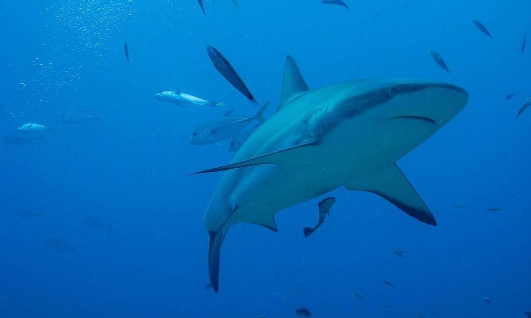 Falta de oxigênio nos oceanos coloca em risco espécies como o tubarão Foto: Pixabay