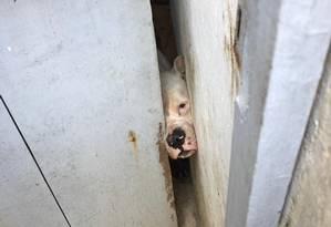 Um dos cães resgatados ficava preso em cômodo sem ventilação Foto: Divulgação