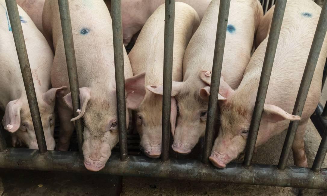 Porcos sendo selecionados para o abate na China Foto: Qilai Shen/Bloomberg / Bloomberg