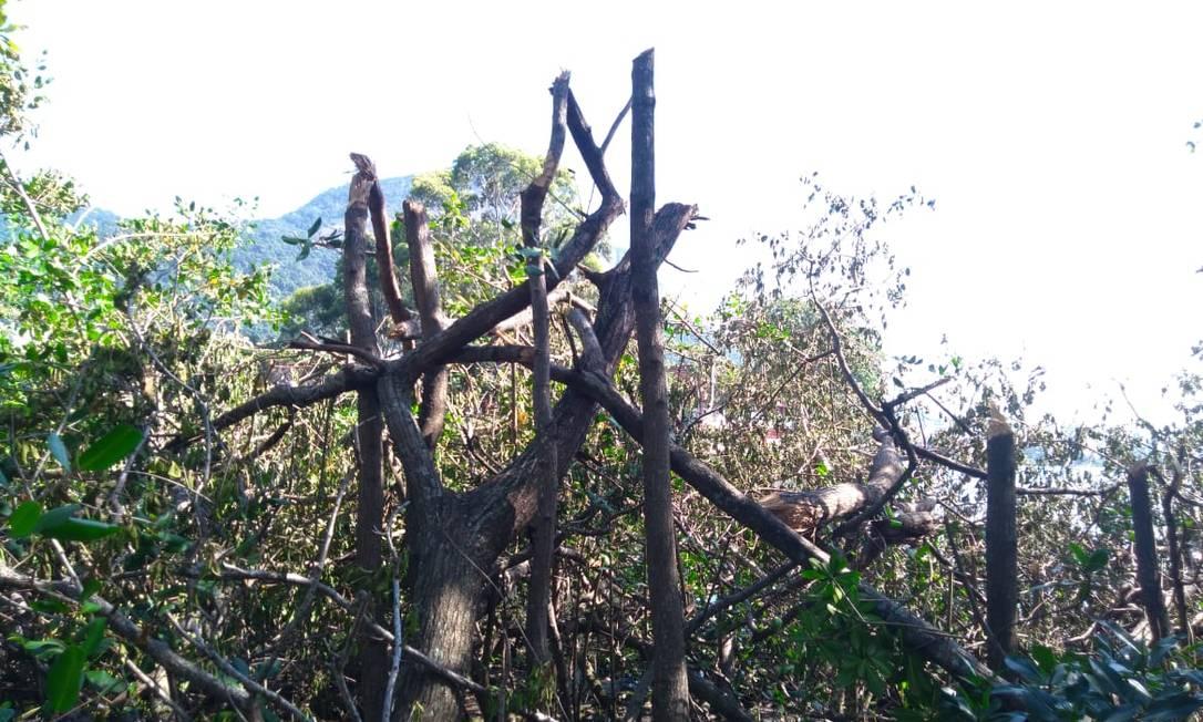Árvores foram quebradas durante a madrugada Foto: Manglares Consultoria Ambiental / Divulgação