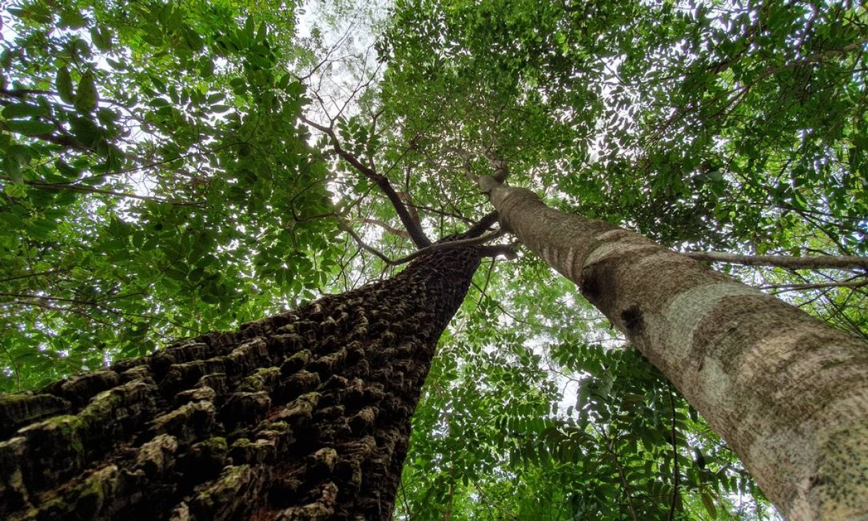 Angelim abraça jatobá em floresta restaurada no Mato Grosso Foto: Ana Lucia Azevedo / local