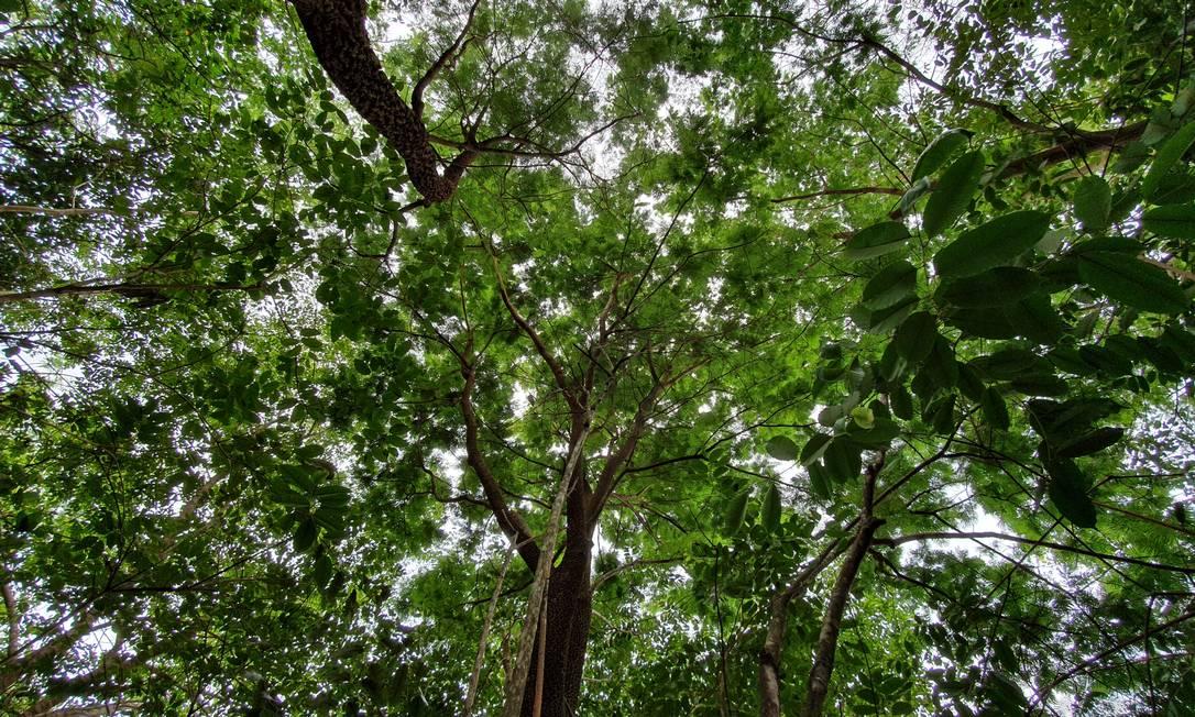 Criação humana: uma das florestas restauradas em fazendas de soja, nas cabeceiras do Xingu. A mata de 12 anos de idade já é considerada consolidada, capaz de proteger nascentes e cursos d'água Foto: Ana Lucia Azevedo / Agência O Globo